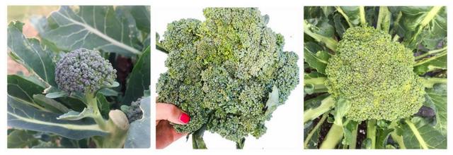 broccoli-collage