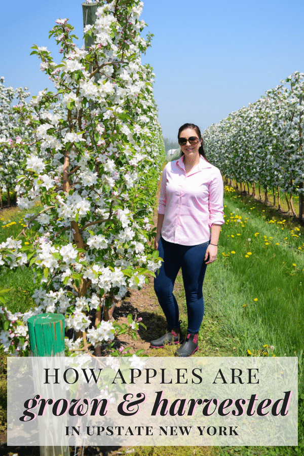 Learn more about locally grown New York Apples on an Upstate, NY Apple Farm Tour with nutritionist Emily Kyle and New York Apple Sales.